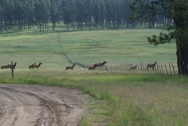 Caution, elk crossing!